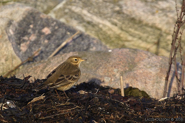 HEDPIPLÄRKA / BUFF-BELLIED PIPIT (Anthus rubescens) - stor bild / full size