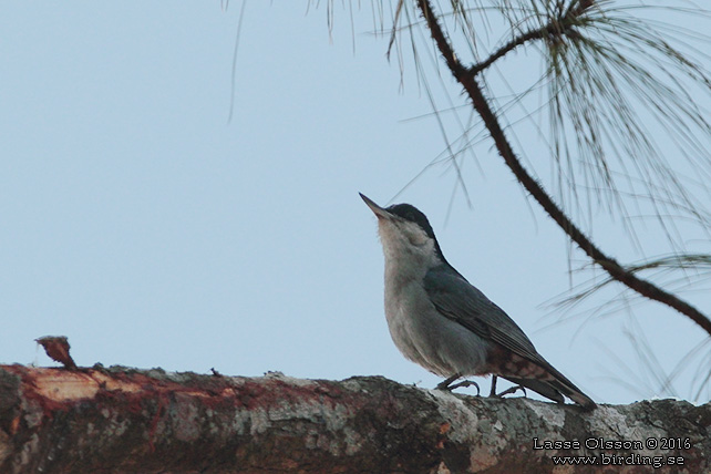 GIANT NUTHATCH (Sitta magna)) - STOR BILD / FULL SIZE