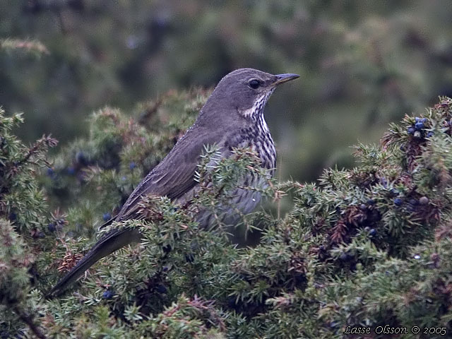 TAIGATRAST / BLACK-THROATED THRUSH (Turdus ruficollis)
